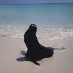 otarie à fourrure, mammifère marin,ouvéa, loyauté