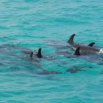 stenella attenuata, dauphin tacheté, mammifère marin, cétacé, ouvéa, loyauté
